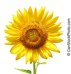 Yellow sunflower - isolated over white
