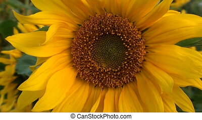 sunflower zoomed in
