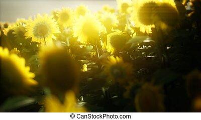 sunflowers, лето, blooming, поздно