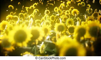 sunflowers, поздно, blooming, лето