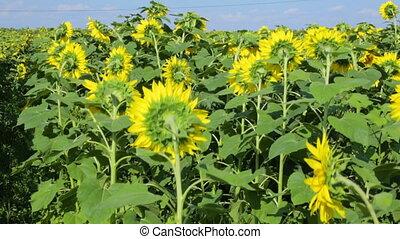 sunflowers, поле, день, лето
