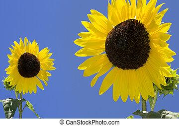 sunflowers against a blue sky