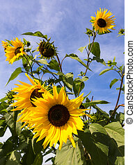 Sunflowers Against a Blue Sky