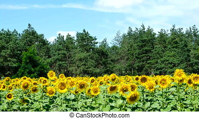 Sunflowers against the blue sky