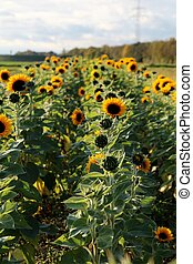 Sunflowers and