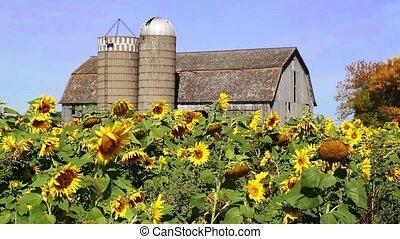 Sunflowers and Barn Loop