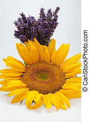 Sunflowers and Lavender isolated on white background