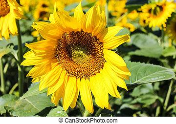 Sunflowers are beautiful plants