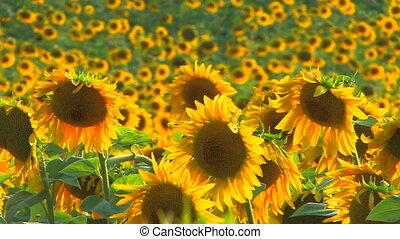 Sunflowers at beautiful summer day
