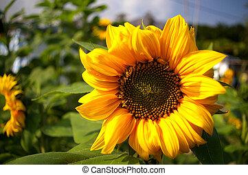 Sunflowers background