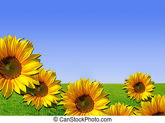 Sunflowers - background with grass
