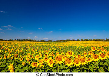 Sunflowers - Beautiful landscape image of an agriculture...