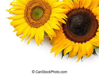 Sunflowers Border Isolated on White Background