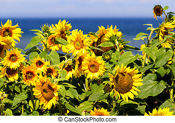 Sunflowers by the ocean