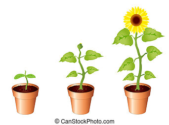 Sunflowers - Illustration of sunflower through stages of...