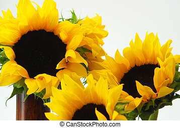 Sunflowers - Closeup of several beautiful sunflowers.