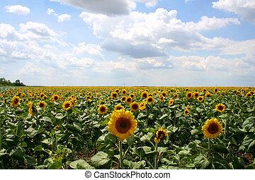 Sunflowers - Digital photo of sunflowers.