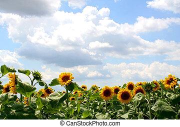 Sunflowers - Digital photo of sunflowers