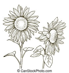 sunflowers drawing on white