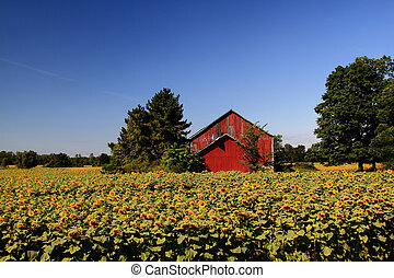 Sunflowers Farm. - Sunflowers field and Buildings of...
