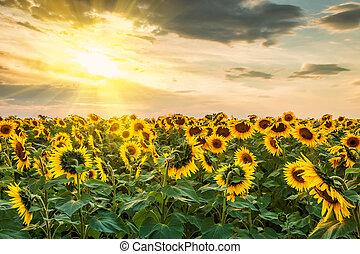 Sunflowers Field and Sun