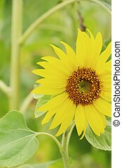 Sunflowers field at beautiful in the garden