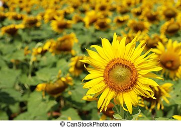 Sunflowers field at beautiful in the garden.