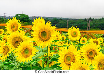 Sunflowers field blooming in the garden at sunny summer or ...