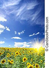 Sunflowers field by summertime.