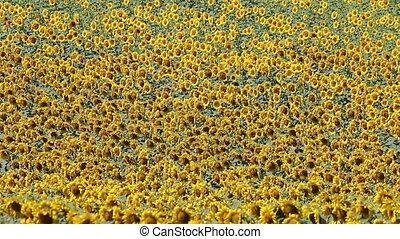 sunflowers field nature background