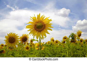Sunflowers field on background of the blue sky