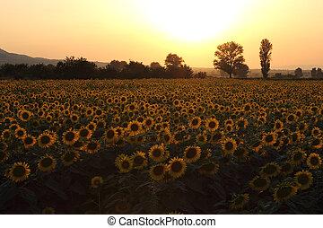 Sunflowers field on Sunset
