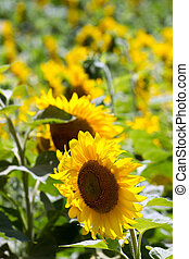 Sunflowers field - A field of sunflowers, in the middle of...