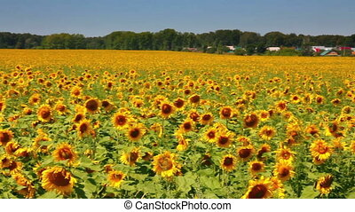 sunflowers field under blue sky with clouds
