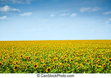 sunflowers field under the blue sky