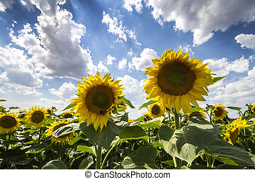 Sunflowers Field with Blue Sky and Clouds. Wide Angle Summer Landscape.