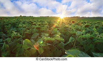 Sunflowers field with clouds in blue sky at sunset,...