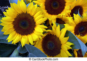 Sunflowers for Sale in Provence