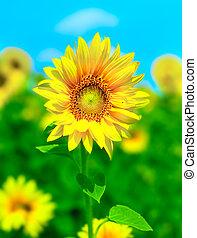 Sunflowers - Gorgeous sunflowers field under clean blue sky