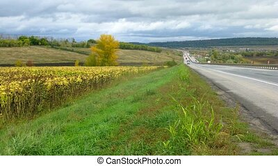 Sunflowers grow along route on which cars go