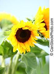 Sunflowers growing in a field