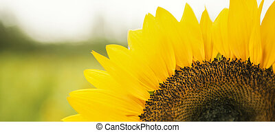 Sunflowers in a field in the afternoon. - Sunflowers amongst...