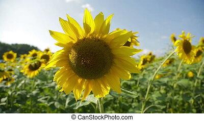 Sunflowers in a field_3