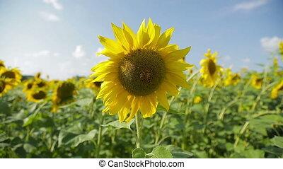 Sunflowers in a field_4