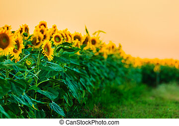 Sunflowers in a row at sunset