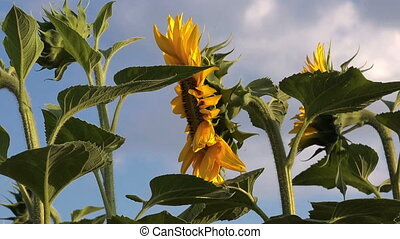 Sunflowers in Agricultural Field