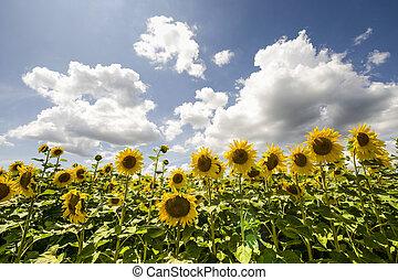 Sunflowers in Burgundy - Field of sunflowers near...