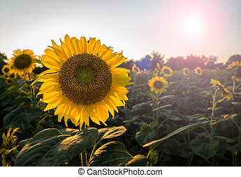 Field full of sunflowers in the late evening as the sun sets low in the sky backlighting the brilliant flowers with lens flare from the sun in the frame
