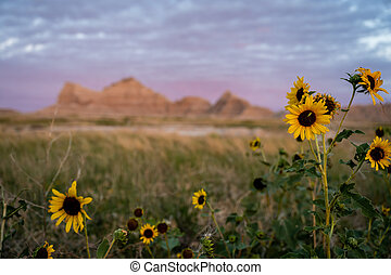 Sunflowers in Field with Badlands Formations