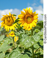 Sunflowers in field with cloudy blue sky background